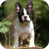 French Bulldog Wallpapers HD 6.0.0