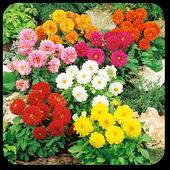 Dahlia Flower Live Wallpaper 1.0