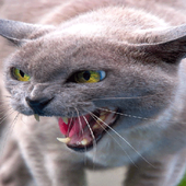 Angry Cat Live Wallpaper 2
