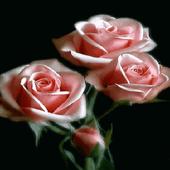 Pink Roses Live Wallpaper 2