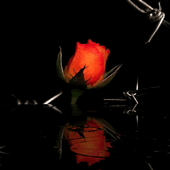 Red Rose In Water LWP 2