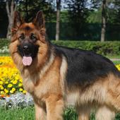 German Shepherd BestThemeWallp 1.0