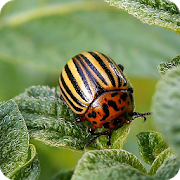 Insect pests 8.4.2