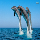 Dolphins Lock Live Wallpaper