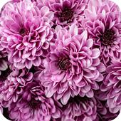 Chrysanthemum Wallpapers 1.1