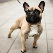 French Bulldogs Wallpapers 1.0
