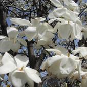 Japan:flower_Magnolia kobus 1.01
