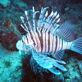 Scuba diving(JP042) 5.01
