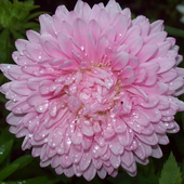 Aster Jigsaw Puzzles 1.0