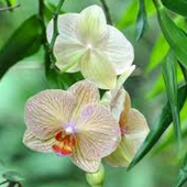 Orchid Jigsaw Puzzles 1.0
