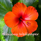 Hibiscus Flower Wallpaper 2.4.1