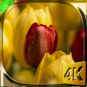 Tulips 4K Live Wallpaper 2.0