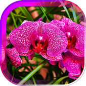Orchids Magic live wallpaper 1.0