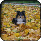 Collie wallpapers 60