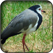 Lapwing wallpapers 60