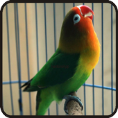 Kicau Lovebird Peterson 1.0