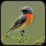 Master Kicau Burung Mantenan Terbaru 1.0