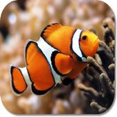 Clown Fish HD Wallpapers 1.0
