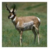Pronghorn Antelope Wallpapers 1.2