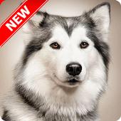 Husky Wallpaper 1.4