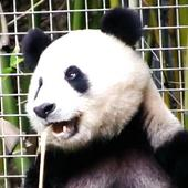 Panda Live wallpaper 1.0