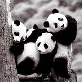 Panda wallpaper 1.0