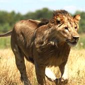 Wild Lion Attack 3D 1.0