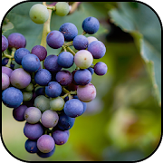 Grapes wallpapers 10.95
