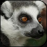 Lemur wallpapers 10.95