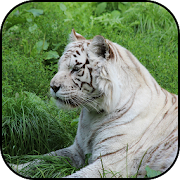 White tiger Wallpapers 1