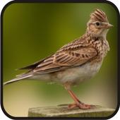 Chirping Bird Sanma Complete New 1.0