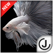 Betta fish hd 1 1 apk download android personalization apps for Siamese fighting fish crossword