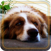 Dogs Gallery live wallpaper 1.3
