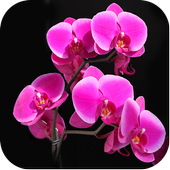 Orchid Wallpapers 3.2