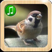 Suara Burung Gereja untuk Masteran kasar 1.0