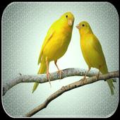 Canary sounds 999.9