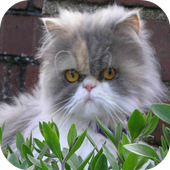 Persian Cats Wallpapers 1.0
