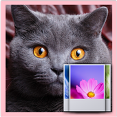 British Shorthair LWP 1.0