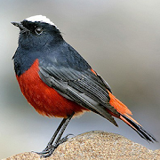 Asian Birds Sounds 2.4