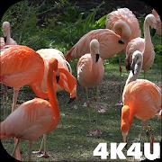 4K Flamingo Video Live Wallpaper 1.1