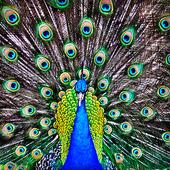Peacock Live Wallpaper : 7fon & LWP 10.0