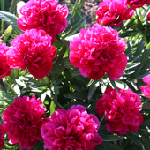 Beauty Flowers HD LWP 2.0