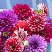 Dahlia Flower Wallpaper Hd 1.0