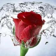 Rose Wallpaper, Floral, Flower Background: Rosely 5.2