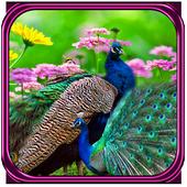 Peacock Live wallpaper 1.0