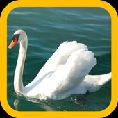 Swan wallpaper 1.1