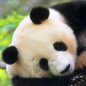 pet panda live wallpaper 3.00