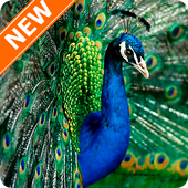 Peacock Wallpapers HD 4.0.0