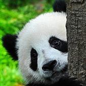 Panda Combat