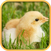 Real Chicken Simulator 1.5